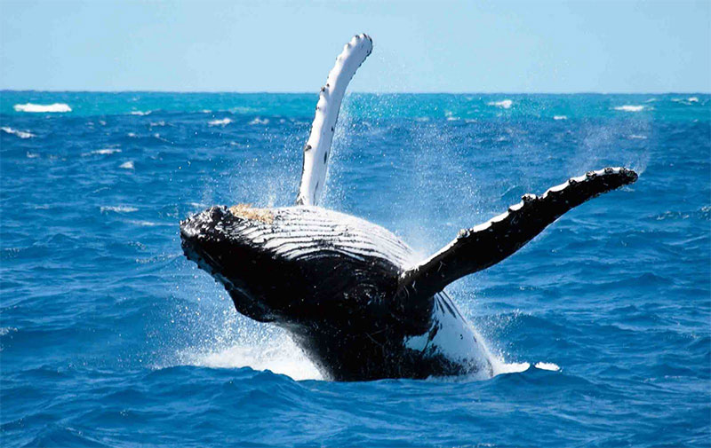 Product 8:00 Whale Watch (1.5 Hours)