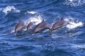 Pacific Spinner Dolphins